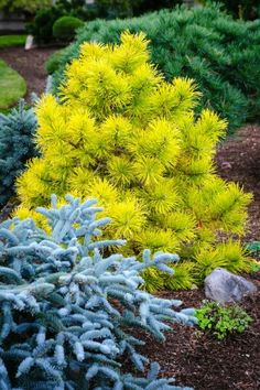 'Chief Joseph' Lodgepole Pine: A true stunner that is unassuming green all summer, then turns brilliant gold in the winter. Especially beautiful when paired with a blue cultivar for amazing winter color. Garden Shrubs, Garden Trees, Landscaping Plants, Front Yard Landscaping, Succulents Garden, Garden Plants, Evergreen Landscape, Evergreen Garden, Trees And Shrubs