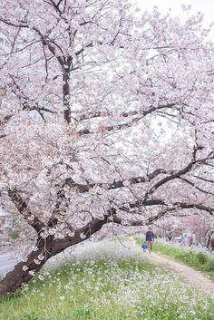 AF-S Nikkor with Nikon April 2015 Tama River Bank, Setagaya Ward, Tokyo, Japan Blooming Trees, Flowering Trees, Japan Sakura, Shady Tree, Flower Art, Landscape Paintings, Countryside, Rose, Nature Photography