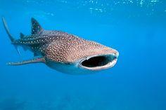 Mergulho com Tubarão Baleia em Cancún via @explorerside