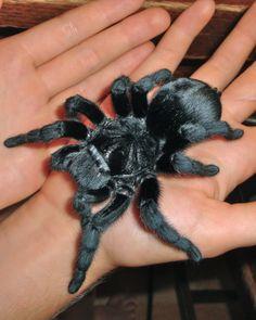 Brazilian Black Tarantula 'Drew' www.notsocreepycritters.com