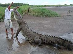 Monster crocodile, Tarcoles River. We'll keep our distance!