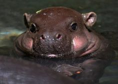 Hippopotamus...Ungulates are a diverse group of large mammals that includes horses, cattle, giraffes, camels, deer, hippopotamuses. Primarily herbivores, some (like pigs) are omnivorous.