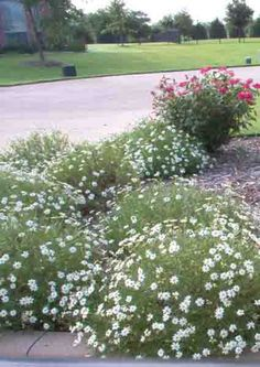 Perennial Plants - Texas Cottage Gardens - Landscape Design Services - Blackfoot Daisey.