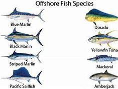 Deep Sea Fish List - Bing images Tuna Fishing, Fishing Boats, Fish List, Beautiful Sea Creatures, Sport Fishing, Fishing Shirts, Salt Water Fish, Offshore Fishing, Types Of Fish