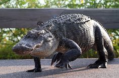 Everyone knows Alligators are huge in Florida. This is a really cool shot I foun…, – Animals Time Animals Of The World, Animals And Pets, Baby Animals, Cute Animals, Crocodile Marin, Reptiles Et Amphibiens, Saltwater Crocodile, Animal 2, Alligators