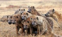 hyena attacked by pack of wild dogs Spirit Animal Totem, Animal Spirit Guides, Animal Totems, Brown Hyena, Brown Bear, African Wild Dog, African Safari, Striped Hyena, Le Totem