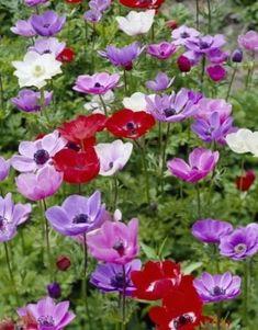 Hardy Perennials, Flowers Perennials, Bright Flowers, Bulb Flowers, June Flower, Caen, Colorful Plants, Garden Borders, Growing Plants
