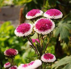 Kiinanasteri 'Hi-No-Maru'/Callistephus   chinensis. Ex. Garden.