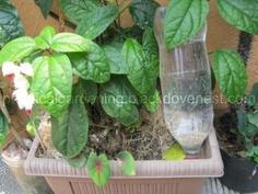 DIY Drip Irrigation Using Soda Pop Plastic Bottle #tutorial