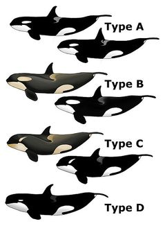 Known types of Killer Whales (orcas) - By Albino.orca