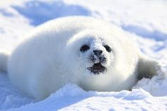 Learn all you wanted to know about harp seals with pictures, videos, photos, facts, and news from National Geographic.