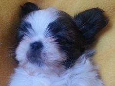 cutest Shih Tzu puppies ever