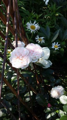 Nostalgie  ... ein Hauch von wunderschönen Rosen