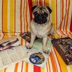 12 years since Alliance and Horde are clashing in Europe  Which side are you on?  #mauricethepug #worldofwarcraft #game #gamer #alliance #horde #worgen #panaren #wow #happyanniversary #pug #mops #dog #puppy