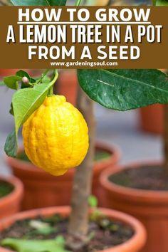 Garden Yard Ideas, Lawn And Garden, Garden Projects, Regrow Vegetables, Growing Vegetables, Veggies, Growing Lemon Trees, Growing Plants, Patio Plants
