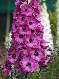 Delphinium elatum Pink Punch Perennial Larkspur Deep rose with pink, brown or white striped centers (bee). Pink Punch is likely the deepest pink Delphinium available for the perennial garden. Delphinium Flowers, Flowers Perennials, Planting Flowers, Delphiniums, Gladioli, Flowers Garden, Hardy Perennials, Hardy Plants, Flower Gardening