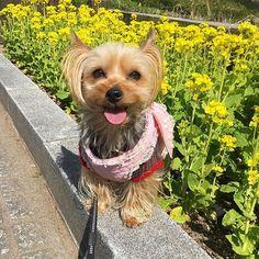 春だねばーぐ🌼 . #ヨーキー#ヨークシャテリア#愛犬#ふわもこ部#犬バカ部#わんこなしでは生きていけません会#わんこ#ヨーキー倶楽部#ワンコのいる暮らし#犬のいる生活#犬のいる暮らし#ヨーキーのいる暮らし#dogoftheday#yorkshireterrier#yorkie#jem#loveyorkies#yorkielovers#yorkiegram#instadog#dogsinstagram#dog_of_instagram#dogdays#instagood#cute#coco#요크셔테리어#約克夏#Йоркширскийтерьер#ココのおさんぽ