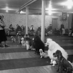 poodles in class... this is actually really cute I wish their was a poodles only training class in my area