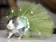 First there was doggy dresses, and coats for mini pigs, now trendy pet owners in New York are ordering designer clothing for their RATS. Animals And Pets, Baby Animals, Funny Animals, Cute Animals, Animal Jokes, Funny Rats, Cute Rats, Pet Rodents, Hamsters