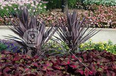 Cordyline australis 'Red Sensation' & Perilla 'Magilla'