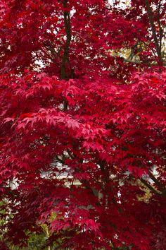 Bloodgood Japanese Maple - Monrovia - Bloodgood Japanese Maple