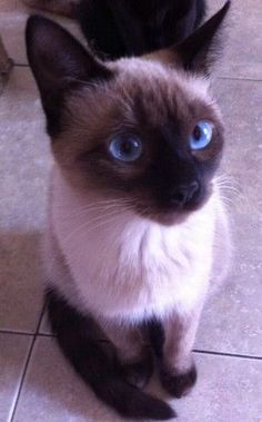 ~ While living in So. Florida, I adopted a 3 yr old Siamese-mix female; Siamese Kittens, Cute Cats And Kittens, I Love Cats, Crazy Cats, Cool Cats, Kittens Cutest, Pretty Cats, Beautiful Cats, Animals Beautiful