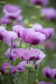 I want a yard full of purple poppies! Purple Poppies by Richard Osbourne. Purple Poppies, Purple Flowers, Wild Flowers, Poppies Art, Poppy Flowers, Purple Lilac, Blooming Flowers, Spring Flowers, Flowers Garden