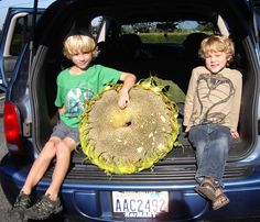 """Giant Pumpkins weren't the only thing displayed at the 2014 Skagit Valley Giant Pumpkin Festival. 4 year old Levin (rt.) entered his 22"""" diameter giant sunflower which he grew at his pre-school."""
