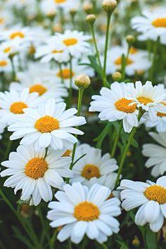 Daisiesgoodhousemag Beautiful Flowers Garden, Amazing Flowers, Pretty Flowers, Flora Flowers, Flowers Nature, Exotic Flowers, Purple Flowers, Full Sun Flowers, Summer Flowers