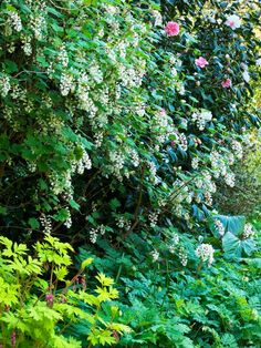 Shrubs for Areas With High Shade:   Shade-tolerant shrubs that are grown for their flowers are best planted where a little sun can filter through, such as near deciduous trees or a trellis.area gets filtered light for shade loving plants. This beautiful white form of flowering currant(Ribes sanguineum) and pink camellia are underplanted with a golden-leaved bleeding heart (Dicentra spectabilis 'Gold Heart') and other shade-lovers.