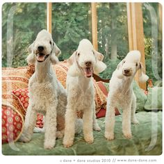 bedlington terrier. also known as the lamb dogs. how cute