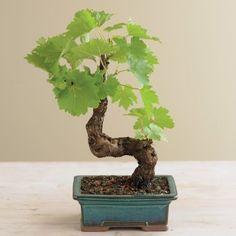 """~ """"Baby"""" Grapevine Bonsai 123 ~"""