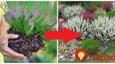 Tajomstvo prekrásnych vresov mojej susedy: Keby som vedela, že im stačí dať toto, urobila by som to pred rokmi – nič to nestojí! Ale, Peach, Herbs, Gardening, Plants, Decor, Gardens, Compost, Dekoration