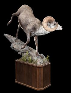 Products Trophy Rooms, Man Caves, Mountaineering, Taxidermy, Horn, Habitats, Project Ideas, Sheep, Garden Sculpture