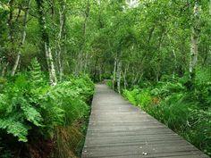fougères Woodland: birch, fern