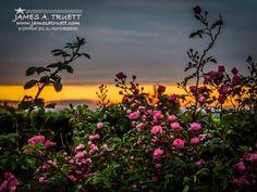 www.jamesatruett.com - Wild Irish Roses at Sunrise in the County Clare #Ireland Countryside.