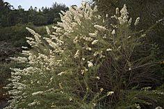 Ericameria palmeri  var. palmeri— Palmer's goldenbush. Regional Parks Botanic Garden Picture of the Day. 1 Dec 2015