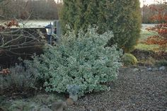Euonymus Fortunei 'Emerald Gaiety' (Wintercreeper) - evergreen shrub. Brightens up the winter landscape - a great plant for ground cover. There are many varieties of this shrub, ranging in colors from white, yellow and green. Hardy to zone 5.