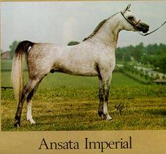 Ansata Imperial (Ansata Ibn Sudan x Ansata Delilah) A 1976 Egpytian Arabian stallion.