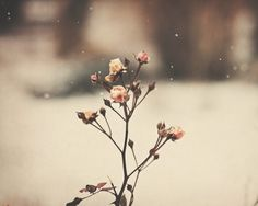 <3 * roses and snow