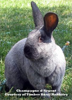 """Top 10 Meat Rabbits - www.ImperfectlyHappy.com Champagne D Argent  The Champagne D Argent is one of the oldest recorded rabbit breeds, with a history back to the 17th century.  Top 10 Meat Rabbits.The beautiful rabbit has been raised for both fur and meat with a good meat to bone ration.  According to their club this breed is also known as the """"Black Angus"""" of rabbit meats.  Generally docile and good mothers this could be a great starter rabbit or one to consider adding to your current…"""
