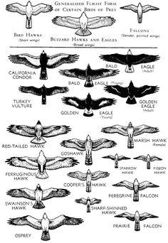 "Birds of Prey - hawk vs eagle vs falcon -Generalized Flight Form of Certain Birds of Prey - hawk vs eagle vs falcon - Collection of eagles, sketch style ""Crow in Flight"" Sticker by helenlloydart Small Eagle Tattoo, Eagle Tattoos, Leg Tattoos, Body Art Tattoos, Sleeve Tattoos, Star Tattoos, Chest Piece Tattoos, Chest Tattoo, Kleiner Adler Tattoo"