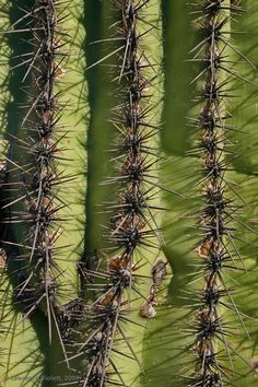 The spines of a Saguaro cactus.