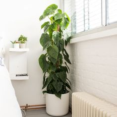 10 cool house plants to grow inside - Plants are friends - Inside House Plants, Easy House Plants, House Plants Decor, Plant Decor, House Inside, Indoor Plants Low Light, Small Indoor Plants, Outdoor Plants, Buy Plants