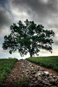 Oak tree from Shawshank Redemption (Monroe Twp., Ohio)