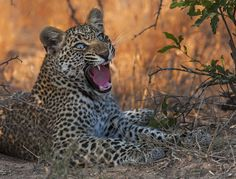 Bessie Vermeulen- Leopard in Mopani Shadows   Getaway Magazine