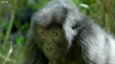 Mirror Mirror: Gorillas React To Their Reflection - Gorilla Family and Me - BBC Earth - YouTube
