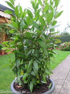 Gewürz-Lorbeer ziehen, pflegen und aus Blättern Gewürz herstellen