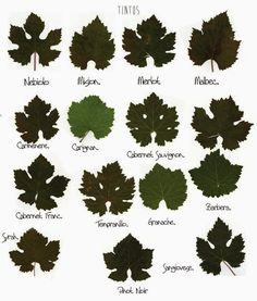 Ilustração mostra a diferença das folhas das principais variedades e uva ~ Papo de Vinho