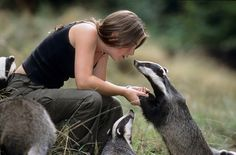 Eurasian Badger (Meles meles). Wildlife worker Daisy Collinson and rescued badgers at the Wildwood Trust, Kent, UK